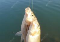 秋季野釣鯽魚的魚餌選擇技巧
