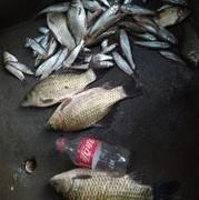 【技巧-钓小杂鱼】白条马口油炸美,麦穗做好馋死你。