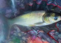 浮釣鰱鱅魚高超技巧分析!
