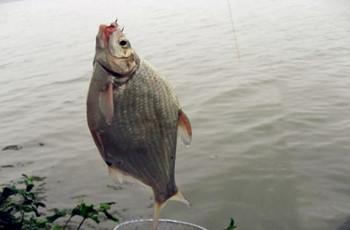秋季野釣大鳊魚技巧!