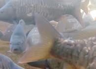 《野马视频》夏季钓鲤鱼,选好这3点,助你渔获多多