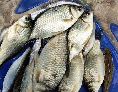 鱼多鱼少不在乎,爆护也只是梦想!