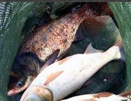 釣鰱鳙戰的技巧和方法
