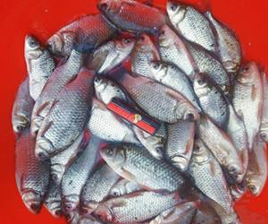 冬季釣鯽魚不容忽視的幾點細節!