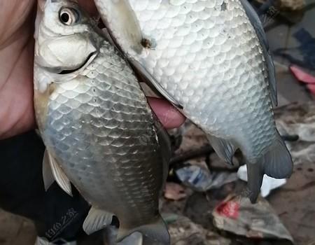 秋冬季——大板鯽來,你準備好了嗎?談雙鉛釣法之適用場景及技巧