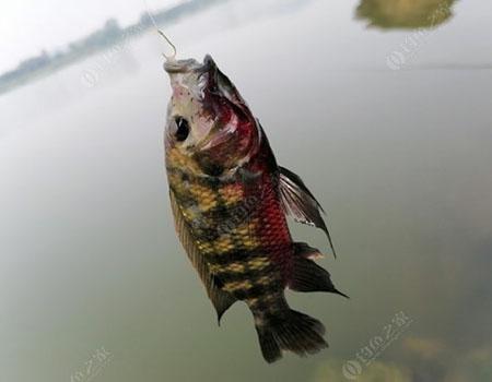 周末再战东江,收获红眼,另外一尾花罗非鱼