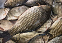 作釣鯽魚必須掌握的四種作釣方法!