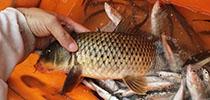 疫情影響魚情,同事跑幾十公里,接我釣夜魚
