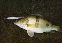路亞鱖魚,了解以下幾點技巧,上魚不是難事!