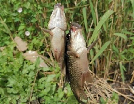 巨野河里戏野鲫,娱者娱渔鱼吃相趣味横生