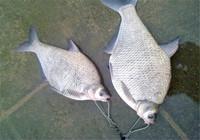 钓鳊鱼牢记这三点技巧 轻松爆护满载而归