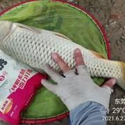 【會員日】老釣友分享野釣鯉魚技巧,歡迎交流