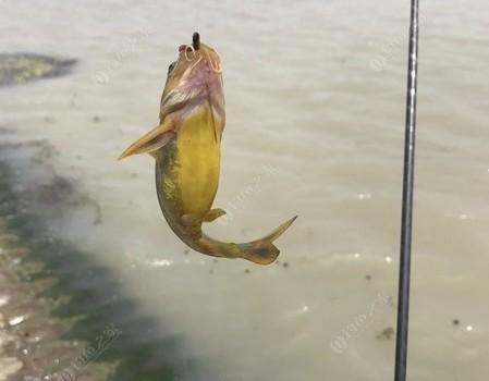 邵伯湖之行-续集 烈日当空照 我把鱼儿钓