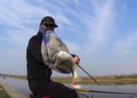 《麦子钓鱼》钓鱼实战:商品饵辅以特殊饵料,狂拔鲻鱼,所上鱼种丰富