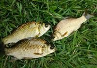 淺談提高夏季鯽魚收獲技巧