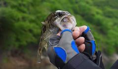 《藍旗魚路亞》跳逗斑鱖,李林軒找到了太平湖大鱖的老巢!