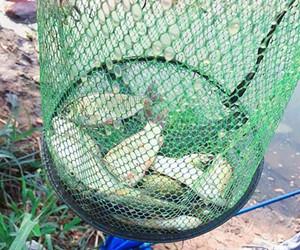 加黏粉打粘挂小饵能有效应对走水钓