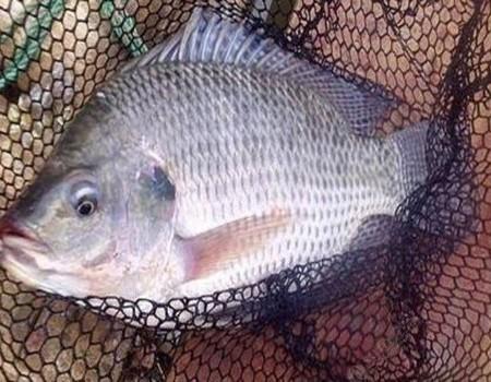 羅非魚的釣法技巧全方位解讀