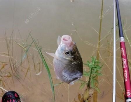 处女贴:神往的库钓,却因准备不充分,被小鱼给调戏了