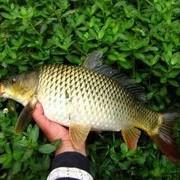 秋季垂釣鯉魚的技巧分享