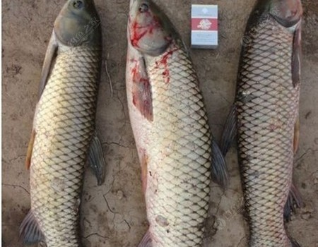 升鐘湖滑漂釣法,斬獲150斤草魚