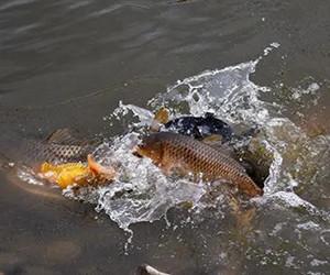 魚兒產卵期,該如何作釣~