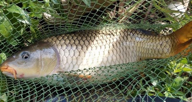 手竿上岸10斤5两大鲤鱼,力道真是大!
