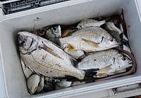 天然渔场海钓大黑鲷鱼获多多