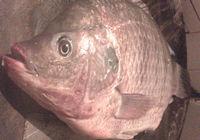 冬季赌塘爽钓巨型罗非鱼