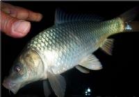 冬季夜钓苦等坚守最终钓获野生大鲤鱼