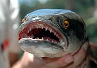 黑鱼攻击食物视频