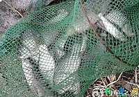 冬季在黄河湾用3.6矶竿串钩钓鲫鱼