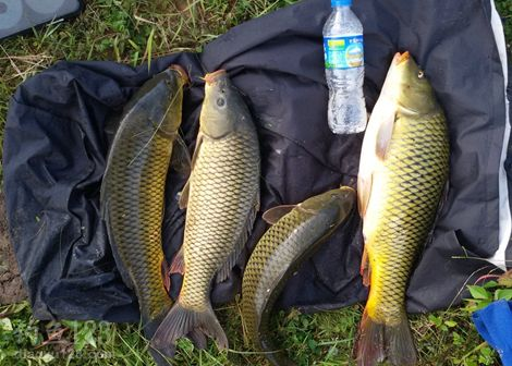 野生黄金鲤鱼