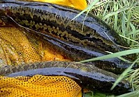 什么是逗引钓及逗钓黑鱼技巧分析