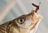 资深钓友教你如何使用蚯蚓饵!