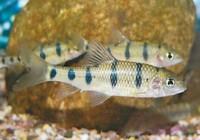 溪流石斑鱼你见过吗