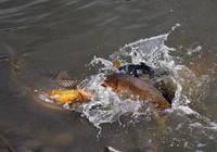 鱼儿产卵期,该如何作钓