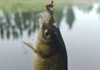 鲫鱼的生活习性:食性及钓法浅析