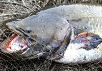 三个钓鱼人野外垂钓捕获33斤大鲶鱼